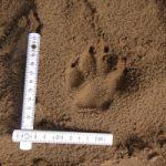 Spurenlesen Modul 1 Vom Tier zur Fährte! 16-06-2018 Boberger Sanddüne